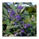 Caryopteris clan. Heavenly Blue 30/40 C3