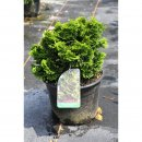 Chamaecyparis obt. Nana Gracilis 45/- Co.